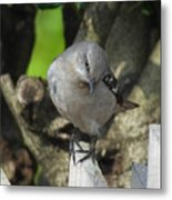 Curious Mockingbird Metal Print