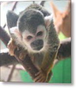 Curious Monkey Metal Print