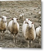 Curious Sheep Metal Print
