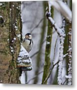 Curious White-backed Woodpecker Metal Print