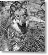 Curious Wolf Pup Metal Print