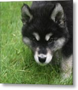 Curiousity Filled Look In The Face Of An Alusky Metal Print