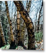 Curved Birch Tree Metal Print