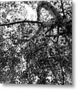 Curving Birch Bw Metal Print