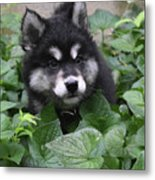 Cute Alusky Puppy In A Bunch Of Plant Foliage Metal Print