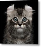 Cute American Curl Kitten With Twisted Ears Isolated Black Background Metal Print