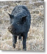 Cute Black Pig Metal Print