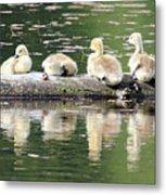 Cute Canadian Geese Chicks Metal Print