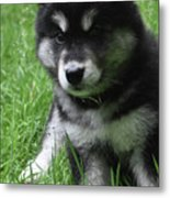 Cute Fluffy Alusky Puppy Sitting Up In A Yard Metal Print