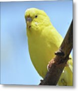 Cute Little Yellow Parakeet In The Rainforest Metal Print