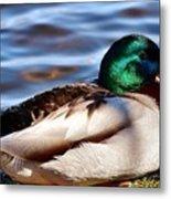 Cute Male Mallard Duck Metal Print