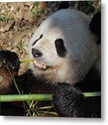 Cute Panda Bear With Very Sharp Teeth Eating Bamboo Metal Print