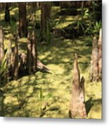 Cypress Knees In Green Swamp Metal Print