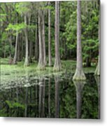 Cypresses In Tallahassee Metal Print