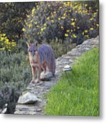 D-a0037 Gray Fox On Our Property Metal Print