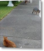 D-a0050-dc Gray Fox And Our Cat On Our Pool Deck Metal Print