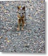D-a0051-dc Gray Fox Pup Metal Print