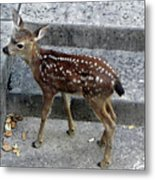 D-a0069 Mule Deer Fawn On Our Property On Sonoma Mountain Metal Print