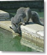 D2b6341-dc Gray Squirrel Drinking From The Pool Metal Print