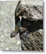 D7b6335 Western Fence Lizard, Male, Sonoma Mountain, Ca Metal Print