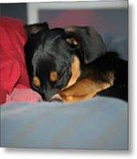 Dachshund Dog, Pug Dog, Good Time On Bed, Sleeping Metal Print