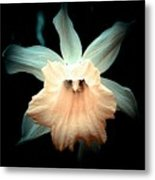 Daffodil #19 Metal Print