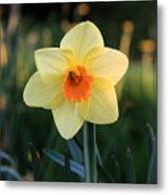 Daffodil At Sunset Metal Print