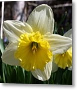 Daffodil Days Metal Print