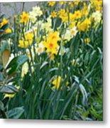 Daffodil Garden Metal Print