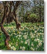 Daffodil Hill Gardens Metal Print