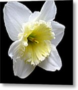 Daffodil On Black Metal Print