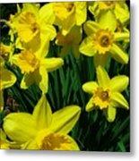 Daffodils 2010 Metal Print
