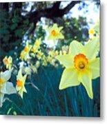 Daffodils And The Oak 2 Metal Print