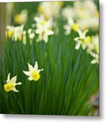 Daffodils In A Bunch Metal Print