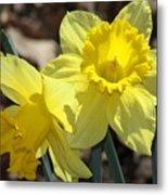 Daffodils In Spring Metal Print