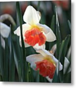 Daffodils Spring Is Here Metal Print