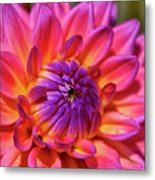 Dahlia Flower 017 Metal Print