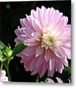 Dahlia Flower Art Pink Dahlias Giclee Art Prints Baslee Troutman Metal Print