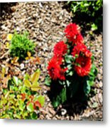 Dahlia Flowers Metal Print by Corey Ford