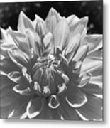 Dahlia In Black And White 2 Metal Print