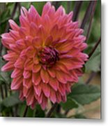 Dahlia In Bloom 19 Metal Print