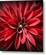 Dahlia Radiant In Red Metal Print