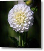 Dahlia White Flowers II Metal Print