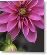 Dahlia With Dew In Pink Metal Print