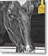 Dairy Cow Number 5216 Metal Print