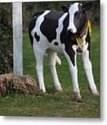 Dairy Cow Stature. Metal Print