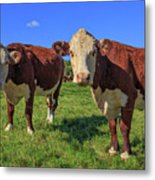 Cattle Andover New Hampshire Metal Print