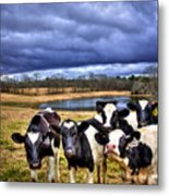 Dairy Heifer Groupies Future Chick-fil-a Starrs Metal Print