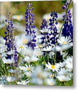 Daisies And Lupine Metal Print