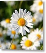 Daisies Flowers Field Blurriness 107162 2048x2048 Metal Print